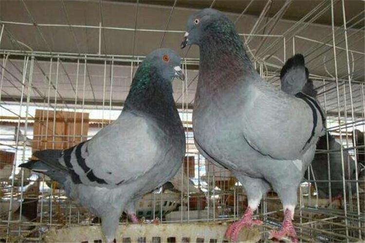肉鸽养殖配种方法