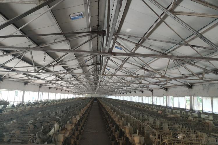 如何管理肉鸽养殖场
