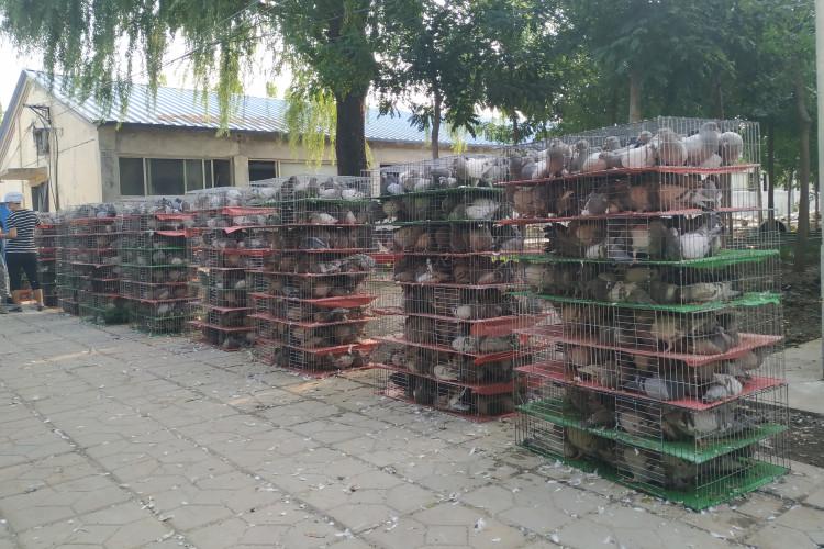 肉鸽养殖场投资预算
